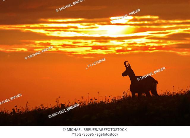 Chamois (Rupicapra rupicapra) at Sunrise, Hohneck, Vosges, Alsace, France, Europe