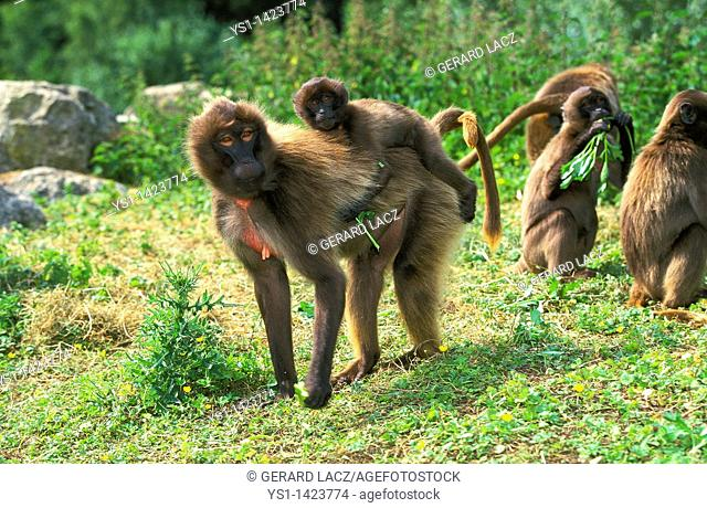 GELADA BABOON theropithecus gelada, FEMALE CARRYING YOUNG ON ITS BACK