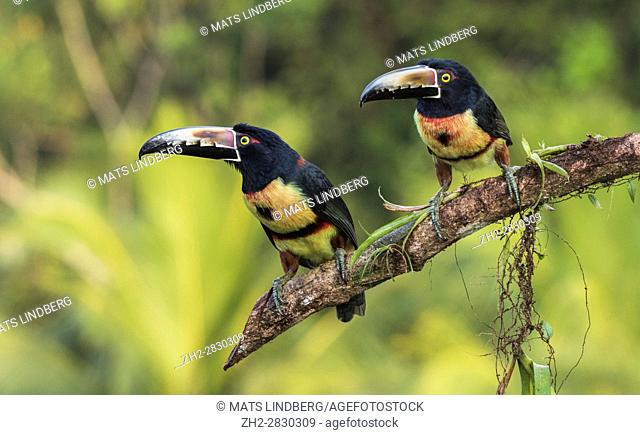 Two Collared Aracari, Pteroglossus torquatus, sitting in a tree, at Laguna del Lagarto, Boca Tapada, San Carlos, Costa Rica
