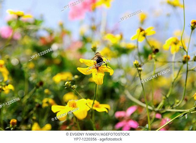 Bee on a beautiful colorful yellow flower