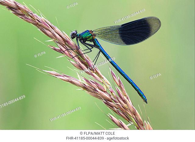 Banded Demoiselle Calopteryx splendens adult male, resting on grass, Leicestershire, England, july