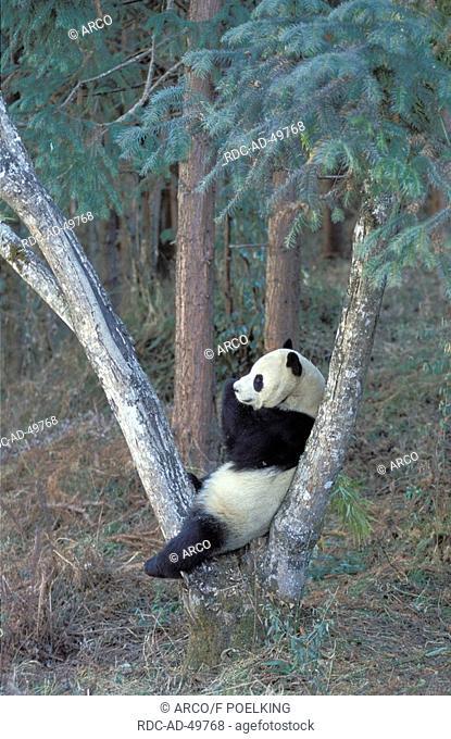 Giant Panda Ailuropoda melanoleuca