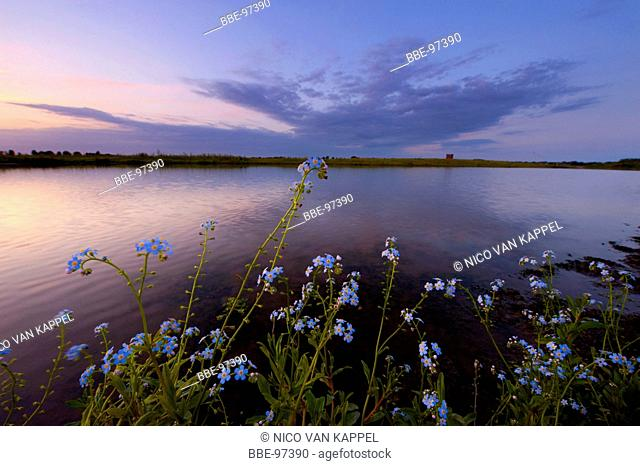 the oeverlanden hollands diep nature reserve on a summer evening with blue water forget-me-not in the foreground