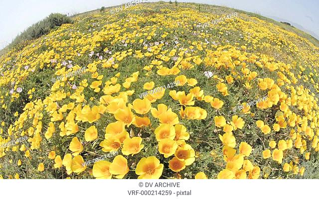 Wide time lapse of California Poppies blowing in the wind in San Simeon, California