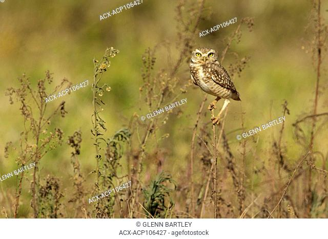 Burrowing Owl (Athene cunicularia) perched on a branch in the Pantanal region of Brazil