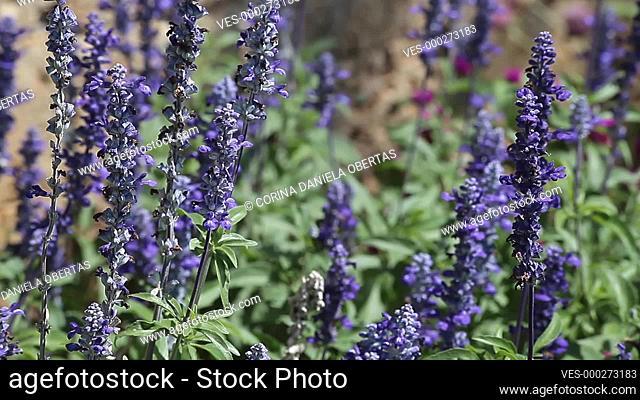 Purple sage flowers in a park in July