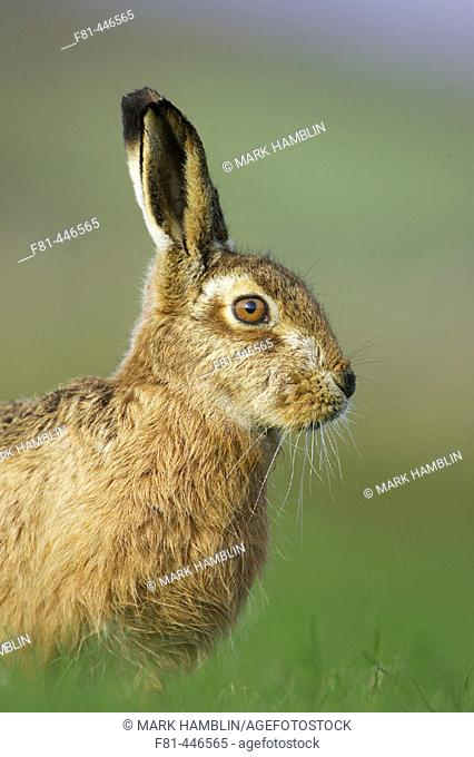 Brown Hare (Lepus capensis) portrait of adult in grass field in early morning light. Scotland