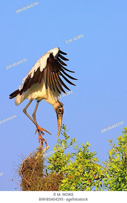 American wood ibis (Mycteria americana), landing on a tree, USA, Florida, Merritt Island