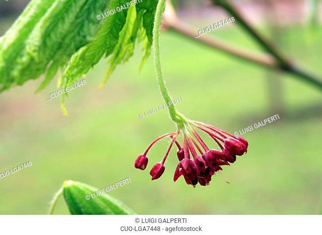Acer japonicum Aconitifolium, flowers, fiori