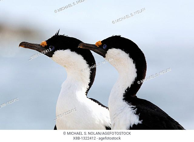 Antarctic Shag Phalacrocorax atriceps bransfieldensis parents on Petermann Island near the Antarctic Peninsula  This is the only blue-eyed shag species that...