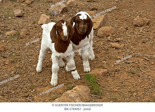 Boer Goat kids, near Kuboes, Richtersveld, Northern Cape Province, South Africa