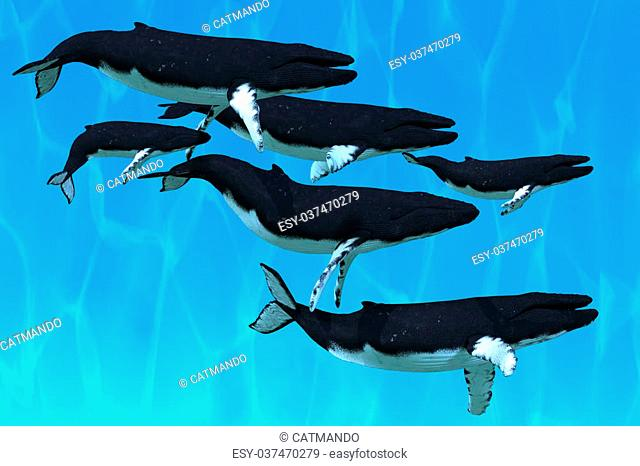 A pod of Humpback whales swim together on their annual migration to northern waters