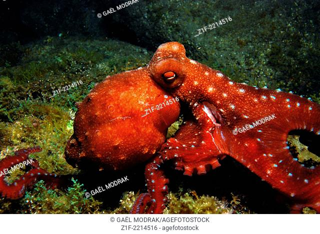 Injured long-armed octopus, observed at night in Corsica's water. Callistoctopus macropus