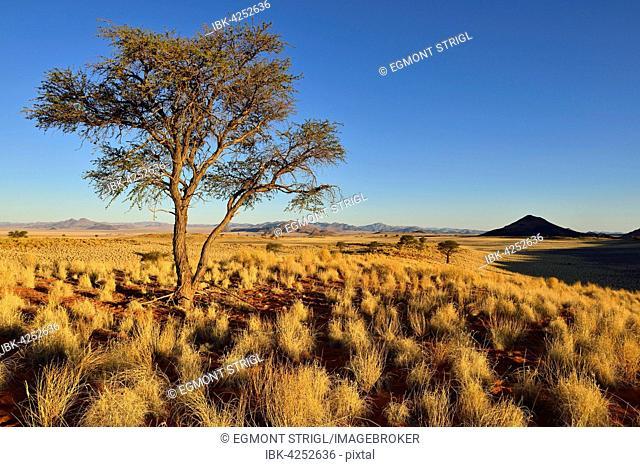 Camel Thorn Tree (Acacia erioloba) in the NamibRand Nature Reserve, Namib Desert, Namibia