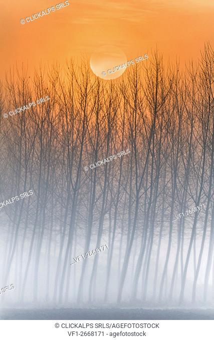 Plain Piedmont, Piedmont, Turin, Italy. Sunrise trees in the mist
