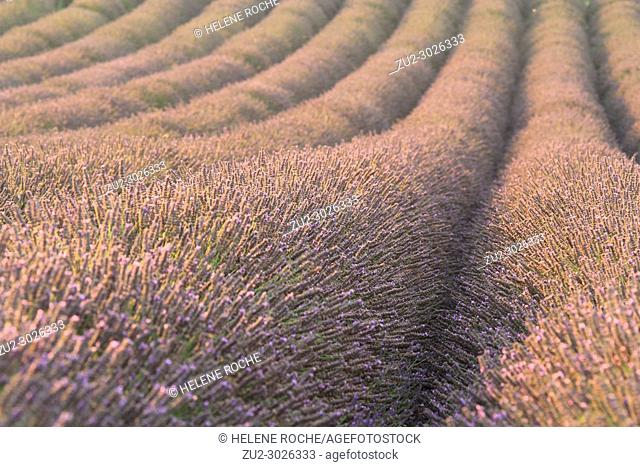 Close-up of lavender fields in Valensole, Provence, France