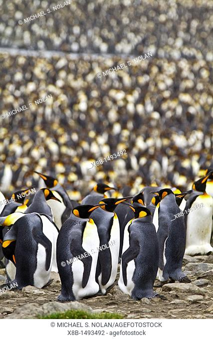 King penguin Aptenodytes patagonicus breeding and nesting colony at St  Andrews Bay on South Georgia, Southern Ocean  MORE INFO The king penguin is the second...