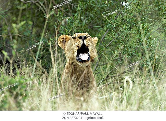 African Lioness ( Panthera leo ) in long grass, Kruger National Park, South Africa