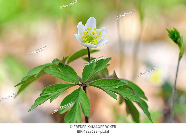 Wood anemone (Anemone nemorosa), flower, North Rhine-Westphalia, Germany