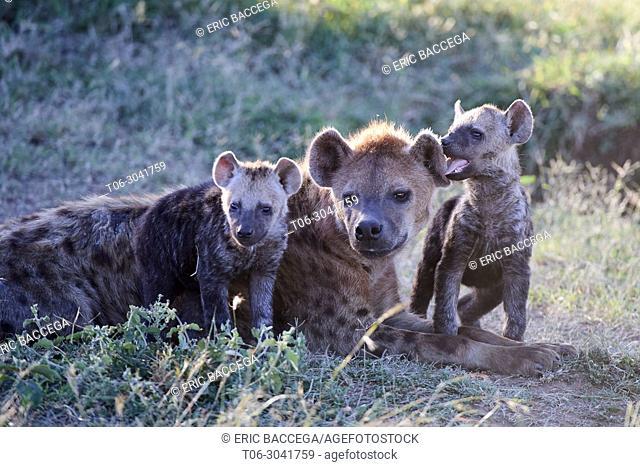 Spotted hyena (Crocuta crocuta) resting with pups, Masai Mara National Reserve, Kenya, Africa