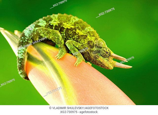 Jackson Chameleon on a tropical flower. USA, Hawaii, Maui
