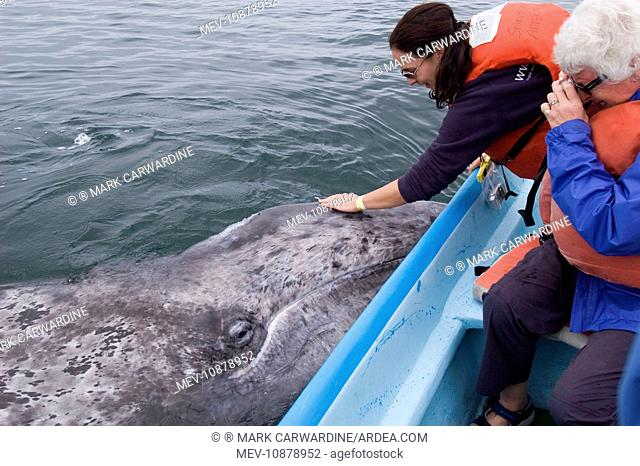 Grey Whale - with whale watchers (Eschrichtius robustus). San Ignacio Lagoon - Baja California - Mexico