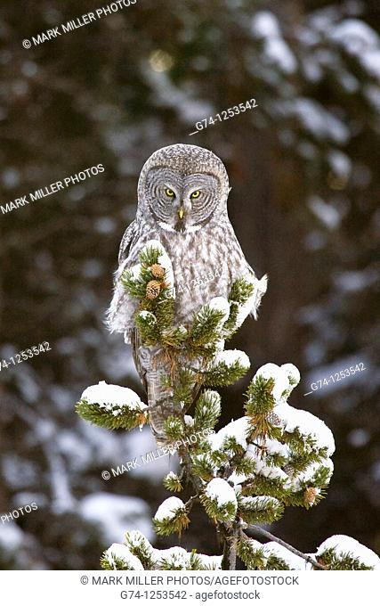 Great Gray Owl atop Snowy Conifer Tree Yellowstone National Park USA