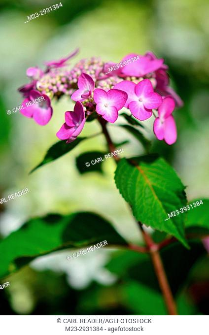 A newly opened hydrangea flower in soft-focus, Pennsylvania, USA