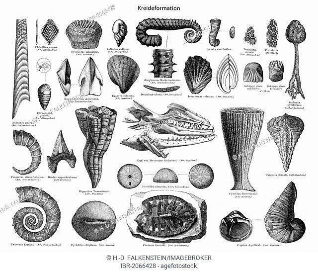 Historical graphic representation, fossils of crustaceans, corals, clams, snails, and protozoa from the Cretaceous period, (Cretaceum), 19th Century
