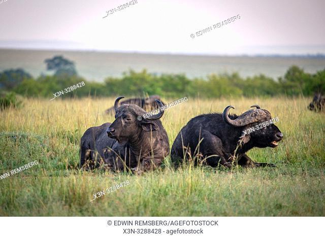 Cape buffalo (Syncerus caffer)lay in the grass in Maasai Mara National Reserve, Kenya