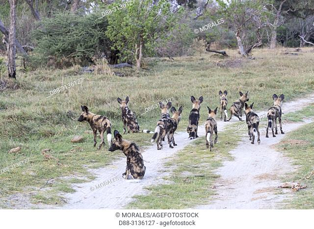 Africa, Southern Africa, Bostwana, Moremi National Park, African wild dog or African hunting dog or African painted dog (Lycaon pictus), group of youngs
