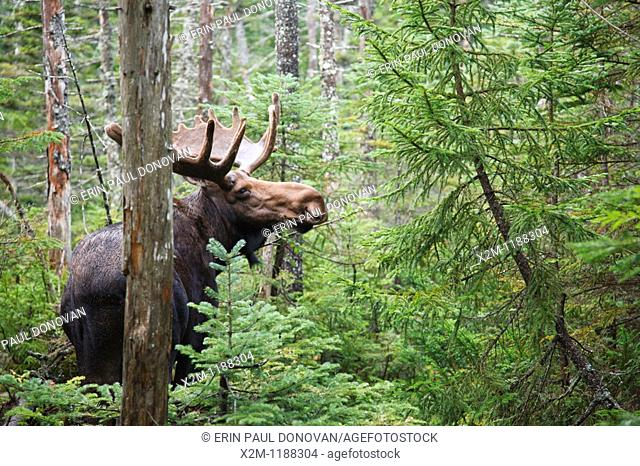 Franconia Notch State Park - Moose on Lonesome Lake Trail in the White Mountains, New Hampshire USA