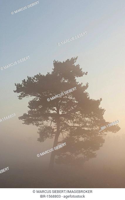 Tree in fog in the Venner Moor, Venne, North Rhine-Westphalia, Germany, Europe