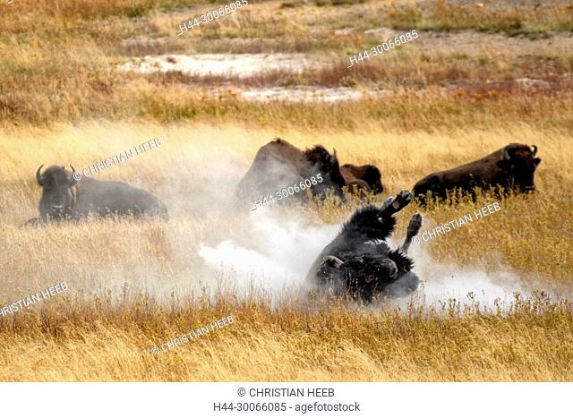 North America, American, USA, Rocky Mountains, West, Yellowstone National Park, UNESCO, World Heritage, wallowing bison