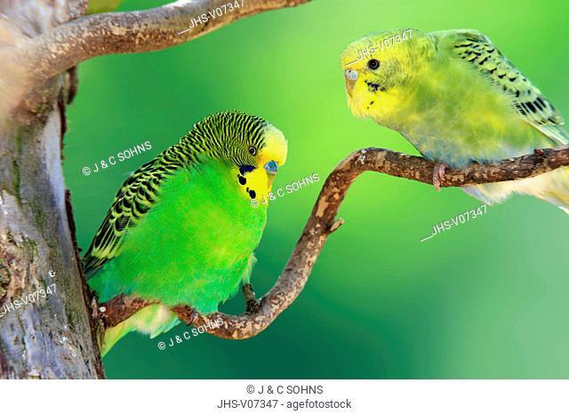 Budgerigar, (Melopsittacus undulatus), adult couple on tree , Australia