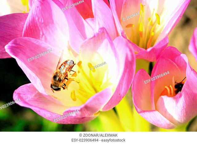 bee on the beautiful pink flowers of Colchicum aut