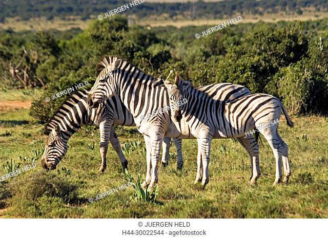 south africa, Addo Elephant National Park, herd of Zebra