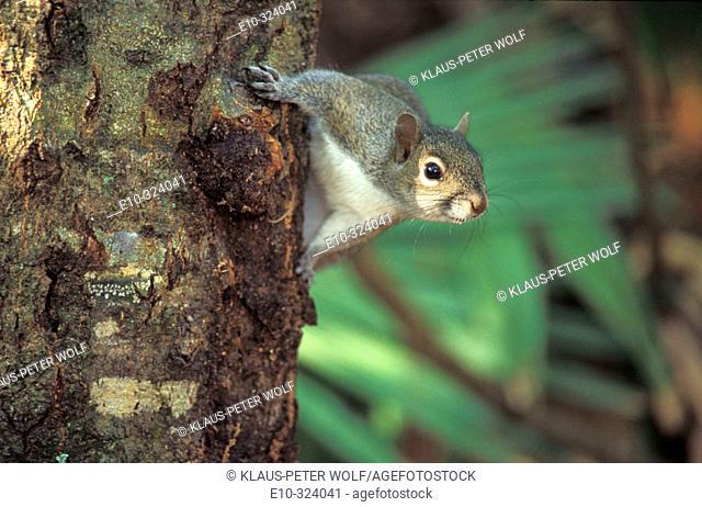 Grey Squirrel (Sciurus carolensis). Florida. USA