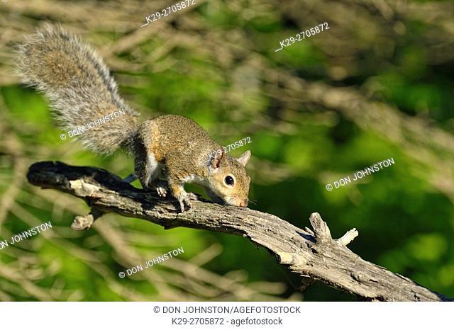Eastern gray squirrel (Sciurus carolinensis) Young, captive, Minnesota wildlife Connection, Sandstone, Minnesota, USA