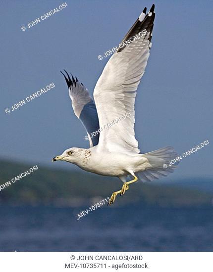 Ring-billed Gull - Adult flying over lake (Larus delawarensis)