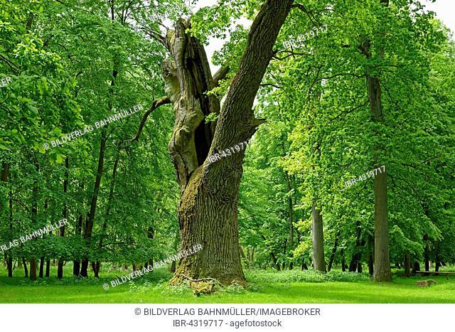 Oaks of Ivenack, oldest oaks in Germany, Ivenack near Stavenhagen, Mecklenburg Lake District, Mecklenburg-Western Pomerania, Germany