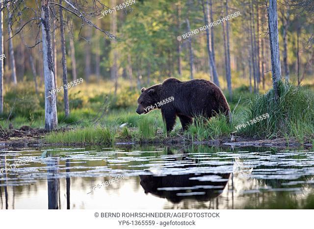 Brown Bear Ursus arctos standing at lakeshore, Finland