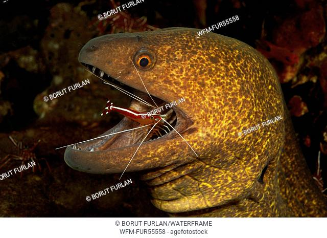 Yellow-edged Moray cleaned by Skunk Cleaner Shrimp, Cephalopholis leopardus, Lysmata amboniensis, Bali, Indonesia