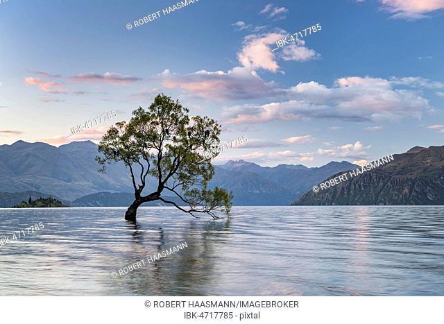 Single tree standing in water, Wanaka Lake, The Wanaka Tree, Roys Bay, Otago, South Island, New Zealand