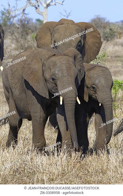 African bush elephants (Loxodonta africana), elephant calves with elephant cow, walking on dry grass, Kruger National Park, South Africa, Africa