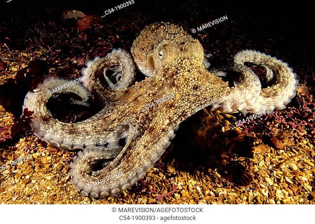 Octopus (Octopus vulgaris) devouring Little cape town lobster (Scyllarus arctus). Eastern Atlantic, Galicia, Spain