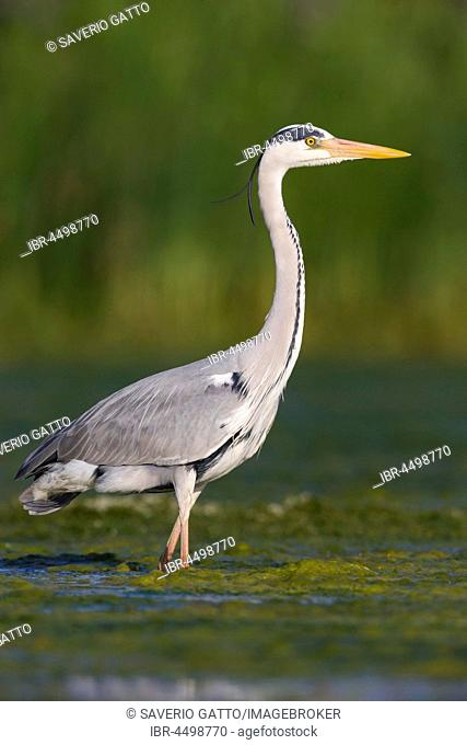Grey Heron (Ardea cinerea), adult standing in water, Campania, Italy