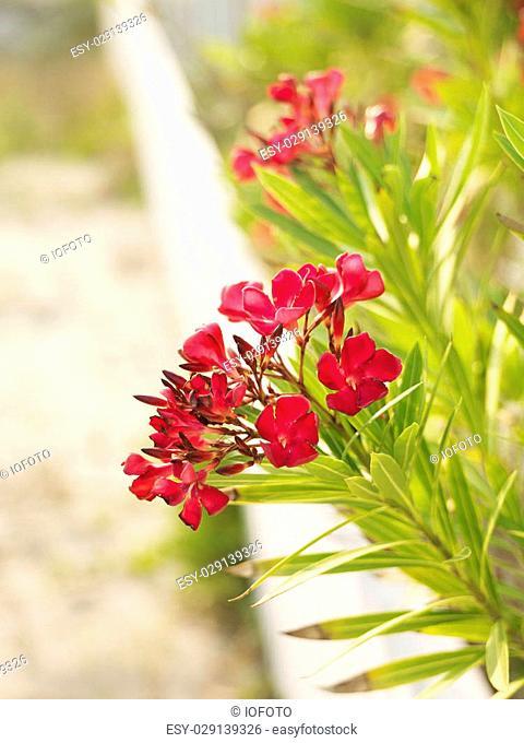 Flowering oleander bush at beach behind white fence