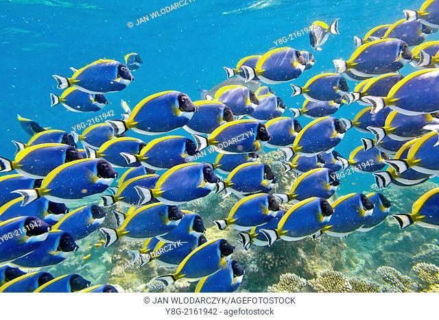 Underwater view, school of fish, Maldives, Indian Ocean