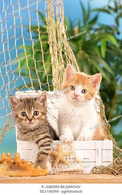 two young British Shorthair cats in box